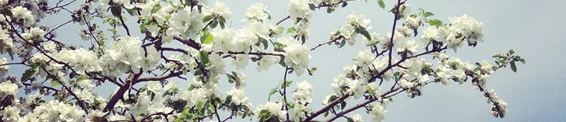 Hvide forårsblomster